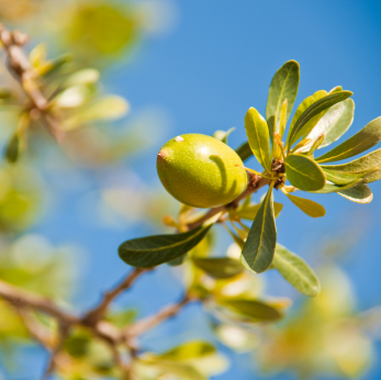 Moroccan Argan Fruit- photo courtesy of Saadia Organics