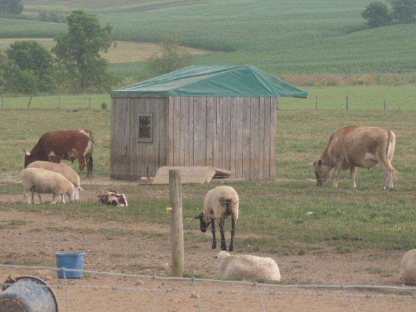 Cows, Sheep in Ohio