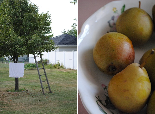 Dwarf Pear Tree in A Neighbor