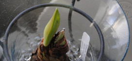 Forcing Winter Bulbs: Amaryllis and Paperwhites