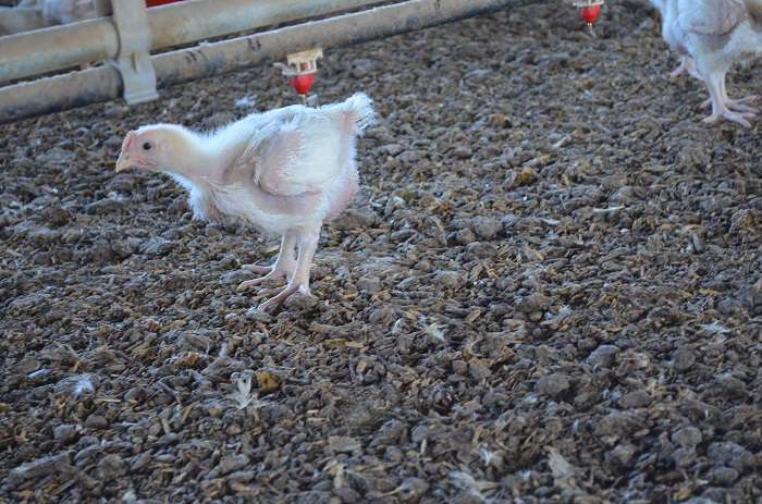 adorable bird Crescent Foods Shows Us Where Our Halal Poultry Comes From