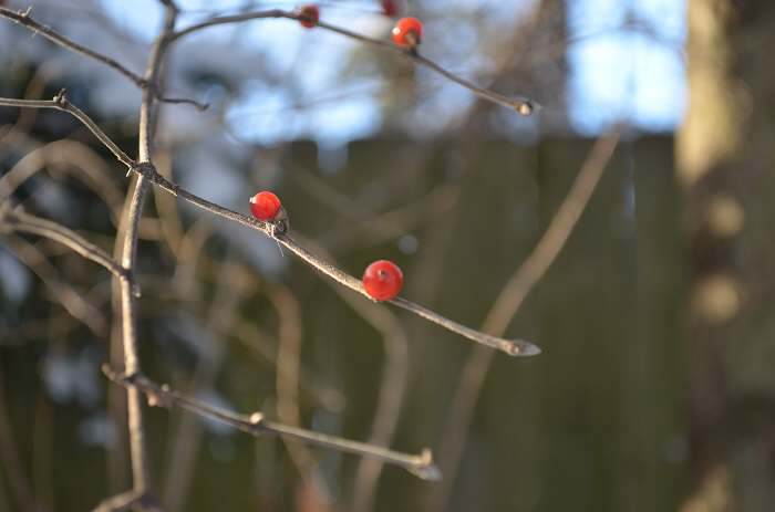 burst of red in winter